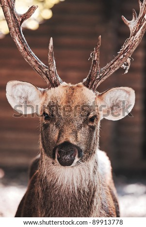 Large whitetail buck