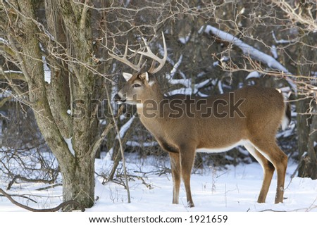 Large Whitetail Buck in the Snow