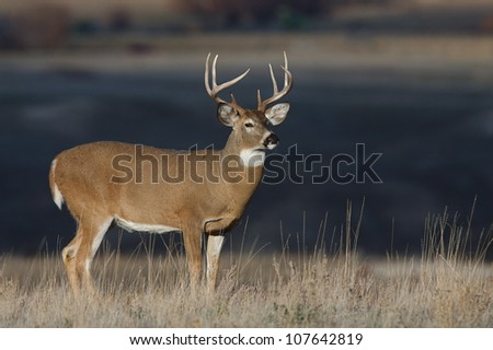 Large Whitetail Buck stands out against a dark background - stock photo
