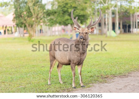 Large whitetailed deer buck standing - stock photo