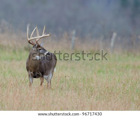 Large whitetailed deer buck standing in a meadow on foggy morning - stock photo