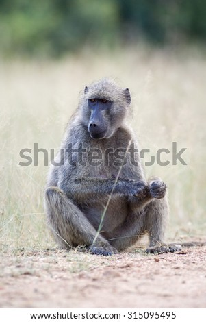 Large wild Baboon sitting and eating fruit on the ground in the Kruger National Park, South Africa - stock photo
