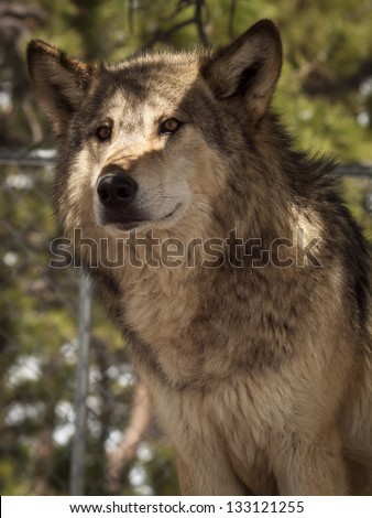 Large wolf in captivity.