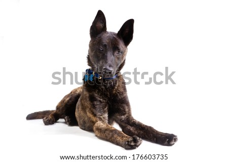 Large young brindle colored crossbred mongrel dog lying looking towards the camera isolated on white background - stock photo