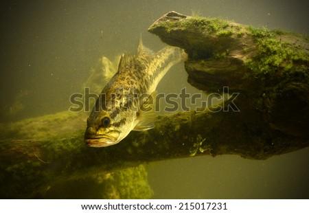 largemouth bass fish in underwater location - stock photo