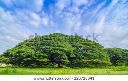 Largest Monkey Pod Tree in Kanchanaburi, Thailand - stock photo