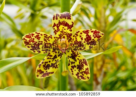 Largest orchid in the world, Scientific name: Grammatophyllum specinocum BL.