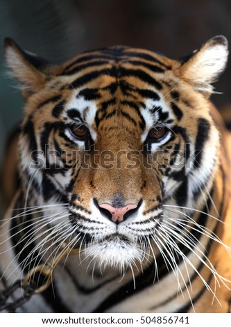 largest representative of the family cat - a tiger, Thailand, Southeast Asia