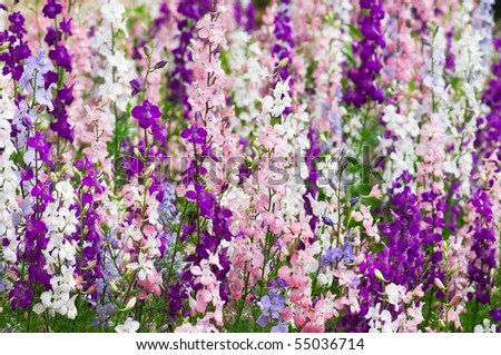 Larkspur - Delfinium flowers, lots of them on the background - stock photo