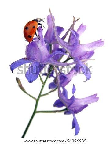 Larkspur flower with ladybug - stock photo