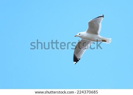 Larus canus, Common Gull. The photo was taken in the Kandalaksha Gulf of the White Sea. Russia, Murmansk region. Island Lodeinoe. - stock photo