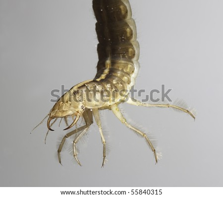 larva great diving beetle dytiscus marginalis underwater insect swimming in freshwater pond this juvenile insect animal is a predator and catches its prey with its big fangs protected species - stock photo