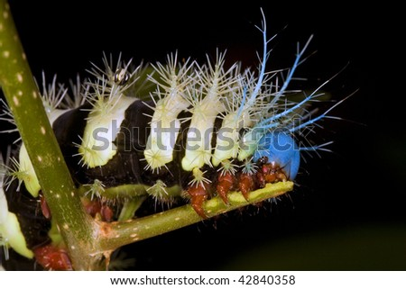 Larva of a saturniid moth from the Ecuadorian Amazon - stock photo