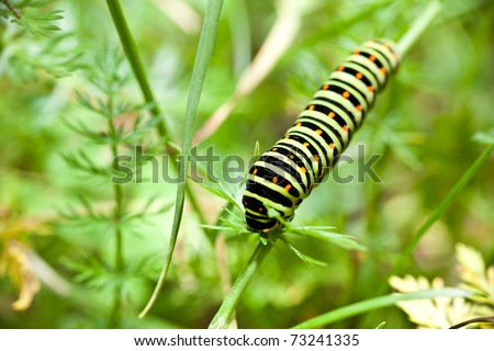 Larva of a swallowtail butterfly (papilio machaon) - stock photo