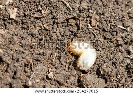 Larva of Cetonia aurata, called the rose chafer or, sometimes, the green rose chafer or goldsmith beetle - stock photo
