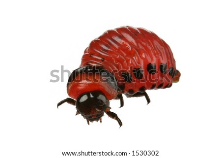 Larva of the Colorado potato beetle against white background