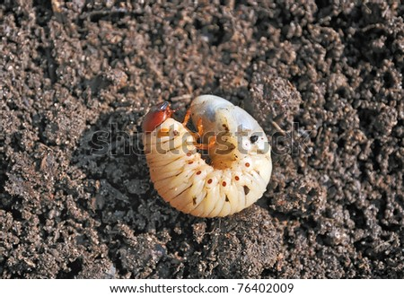 Larva. The larva is thick. Vile disgusting maggot. Fat insect larvae. Beetle larvae. Rhinoceros beetle. Nasty insect. Pest root. Sickening animal. - stock photo
