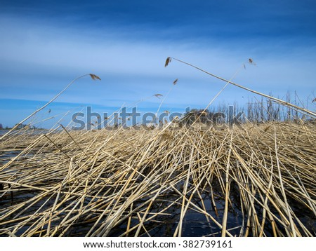 last year's dry cane in water against the blue sky