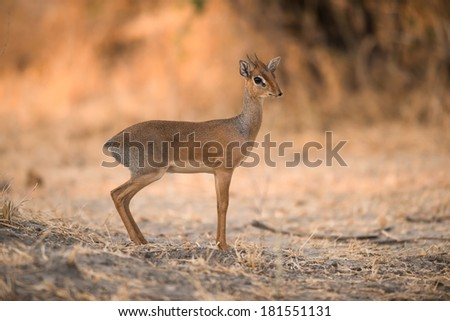 Late afternoon light and Kirk's Dik-Dik in Serengeti National Park, Tanzania - stock photo