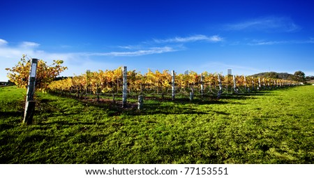 Late afternoon vineyard in South Australia - stock photo