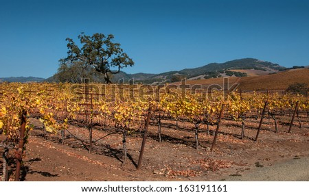 Late Autumn in the Vineyard - stock photo
