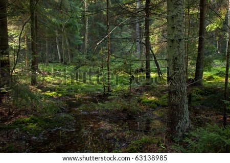 Late summer coniferous stand taiga like  of Bialowieza Forest Landscape Reserve in morning - stock photo