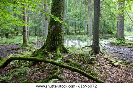 Late summer forest landscape of wet stand strictly nature protection area of Bialowieza National Park - stock photo