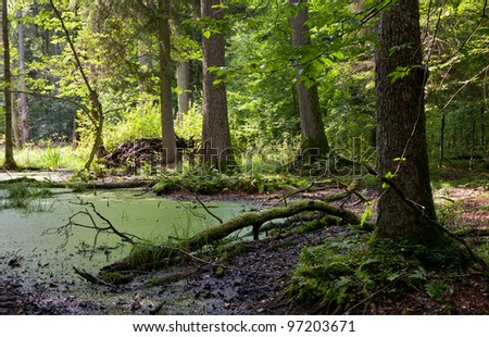 Late summer forest landscape of wet stand strictly nature protection area of Bialowieza National Park