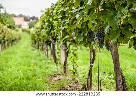 Late summer green rural vineyard and blue grapes before harvest - stock photo