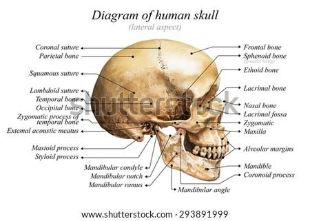 occipital bone stock images royalty free images vectors. Black Bedroom Furniture Sets. Home Design Ideas