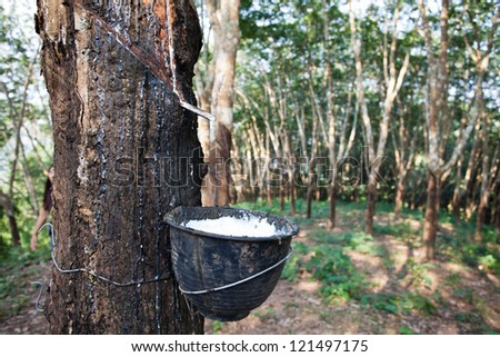 Latex flows from para rubber tree