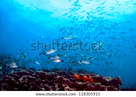 Latin grunts swimming over orange cup coral - stock photo