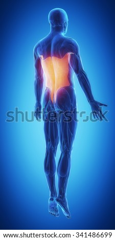 latissimus dorsi - stock photo