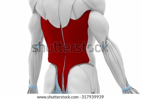 Latissimus dorsi - Muscles anatomy map - stock photo