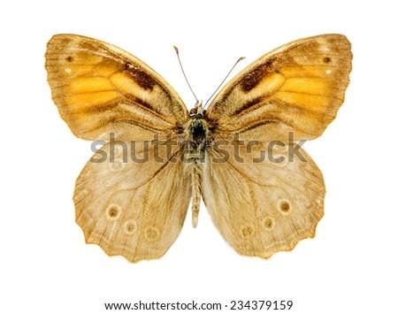 Lattice Brown (Kirinia roxelana)butterfly - stock photo