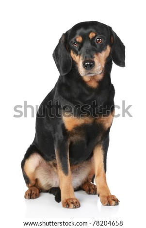 Latvian Hound dog sitting on a white background
