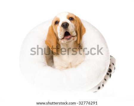 Laughing Beagle puppy in white fur bed, on white background