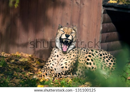Laughing cheetah - stock photo