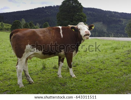 Laughing cow on a field in Austria