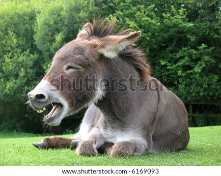 Laughing donkey - stock photo