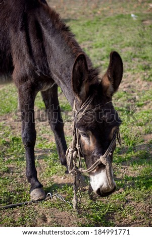 Laughing donkey on a meadow. - stock photo