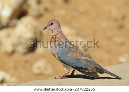 Laughing Dove - African Wild Bird Background - Posture of Grey and Blue - stock photo