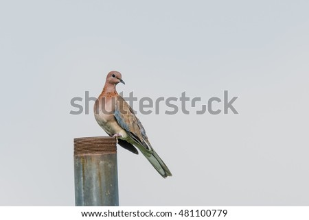 Laughing Dove perched