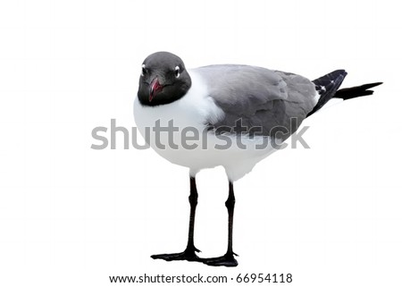 Laughing Gull (Larus Atricilla) in adult summer coat, isolated on white