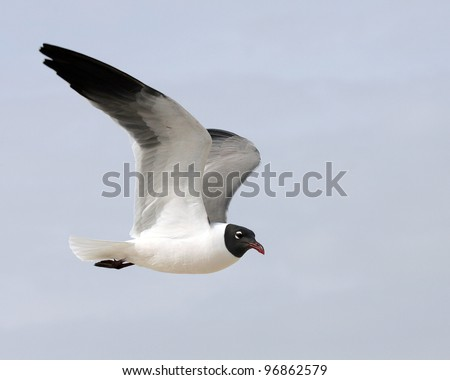 Laughing Gull (Larus atricilla) in flight - stock photo