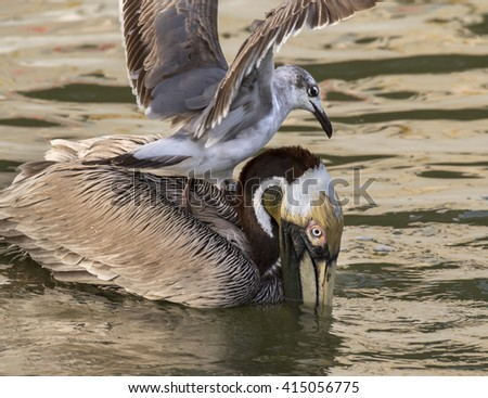 Laughing gull tryin to take away a catch from the Brown pelican (Pelecanus occidentalis) at sunrise, Galveston, Texas, USA - stock photo