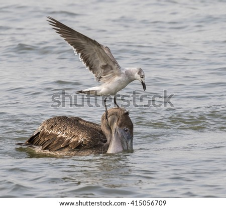 Laughing gull tryin to take away a catch from the Brown pelican (Pelecanus occidentalis), Galveston, Texas, USA - stock photo