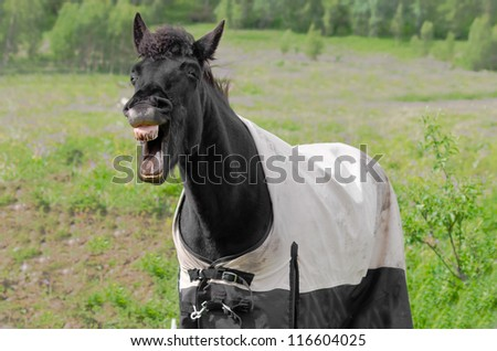 Laughing horse with dirty teeth and the rug on - stock photo