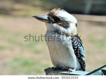 Laughing kookaburra (Dacelo novaeguineae). native to eastern Australia - stock photo