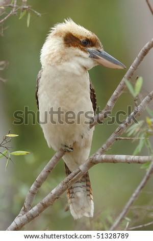 Laughing Kookaburra in the Atherton Tablelands, Australia - stock photo